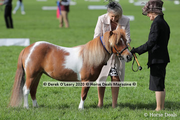 """Karen Whitaker-Taylor's """"Kristamoor Lodge Lace"""" in the Shetland Pony Mare 9.2hh and under 4 years and over"""