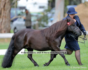 """Susan Carter's """"Kristamoor Lodge Silhouette""""in the Shetland Pony Mare over 9.2hh and N/E 10hh 4years and over, placed 2nd"""