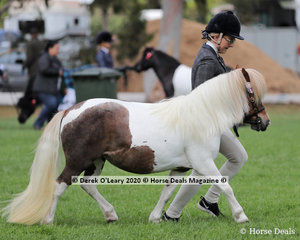 """Careal Miss Congeniality"" exhibited by Denis & Fern Davenport in the Shetland Pony Mare over 9.2hh and N/E 10hh 4 years and over"