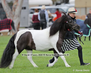 """Sleepy Hollow Breeze"" exhibited by Lee Purchase in the Shetland Pony Mare over 10hh and N/E 10.2hh 4 years and over"