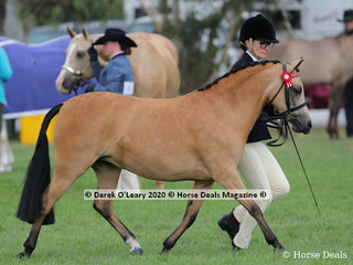 """""""Harington Park Charlottes Dream"""" exhibited by Peta Hall in the Dilutes ring, Led Mare 4 years and over, 12hh and under"""