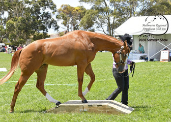 Tracey Malia showing LA Sherlock Holmes in the yearling Led Trail.