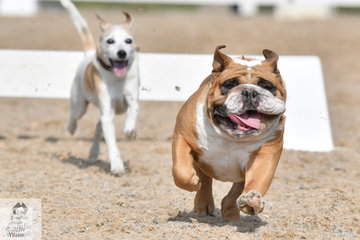The annual dog races are a highlight of the 2C Victorian Youth Dressage Championship. George McNaught did have a home ground advantage and tried his best until the Jack Russells bullied him off the course in the small dog heat.