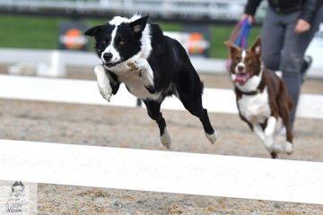 Molly Lawrance's, Jett shows a great talent and desire to jump and was second in the final of the annual dog race.