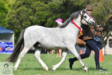 Sarah Catanach is pictured on the run with the Llanfairbryn Stud's, 'Llanfairbryn Fantastic Mr Fox' (Arielen Maestro/L. Foxy) that won the class for Three Year Old WMP Colt and went on to be declared Champion WMP Colt, Supreme WMP and Best Welsh In Hand..
