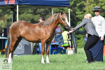 Samantha Webb took third place in the class for Two Year Old WMP Filly with , 'Aiwon Park Precious.