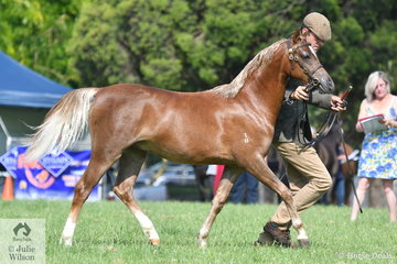 Professional trainer, Luke Dawes is pictured with the Yearling, 'Glenyarra Warrior' that was declared Reserve Champion Section B Colt.