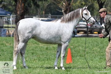Wendy Trimble's Three Year Old Welsh Pony Filly, 'Weston Park Confetti' (Steelehorst Kyro imp/W.P. Crystal) was declared Champion Welsh B Filly and Supreme Welsh B Exhibit.