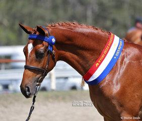 """Paulgren Park Valhalla"" won Champion Led Part APSB & Reserve Champion Led Saddle Pony, exhibited by Paulgren Park & Lynn Bailey."
