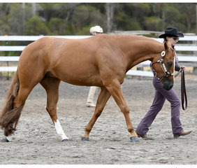 Colour Me Red with Jackie Becker in the Amateur Halter gelding  3 years and over