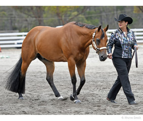 My Certain Valentine with Susan Gittus in the 4  Years and Over Gelding Halter class.