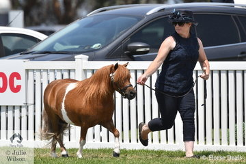 Zara Missen is pictured on the run with her Supreme Champion Miniature Pony Gelding, 'Yarralyn Fine Print' (Yarralyn Cossak/Ananaka Lodge Royal Imprint)