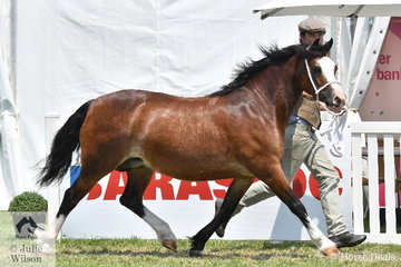 Ashley Porter is pictured on the run with his and Scarlett Porter's super successful, 'Mithrin Amazing Grade' (Cataqui Hassufel/Bookra Maggie May) that was declared Champion Welsh Pony of Cob Type and Supreme Led Welsh Exhibit.