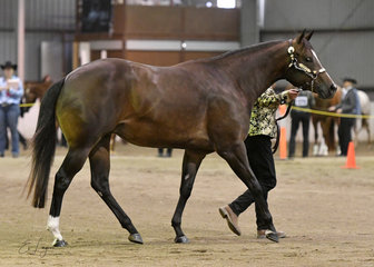 Glamorous To A Te shown by Sharron Winter in the Amateur Quarter Horse mare 3 years and over.