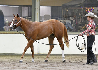 How About A Red shown by Julie Coen in the Yearling Lungeline class