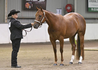 Shes A Fine Sensation and Jan Mair, in the Quarter Horse Mare 3 years and over halter class.