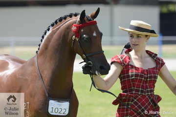 Regular and successful exhibitor, Brooke Stevenson is pictured with her, 'Bamborough Soloist' that was declared Champion Led Part Welsh Gelding.