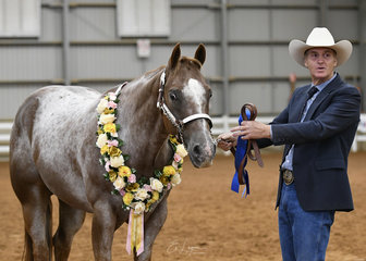 Champion Appaloosa at Halter, Heza Cool Hancock shown by Russell Mutimer