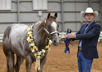 Champion Appaloosa at Halter, Heza Cool Hancock shown by Russell Mutimer