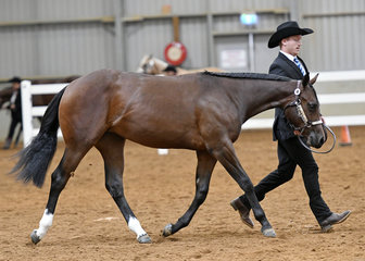 Delightful Investment shown by Ryan Robinson in the AQHA filly 1 year and under Hlater class.