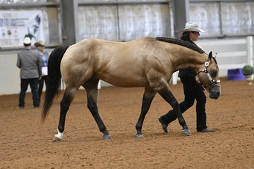 JB Too Cool To Fool shown by Tania Clarke in the AQHA stallion 4 Years and Over Halter Class