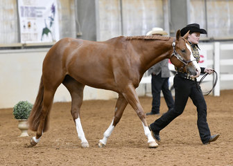 Liz Christian showing Triandibo Superfatuation in the AQHA mare  4 years and over halter class