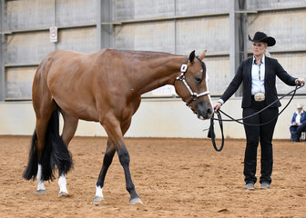 Lana Kelderman showing DP Sultry Lady in the Two Year Old Lunge Line class, for Zhana DiCandilo