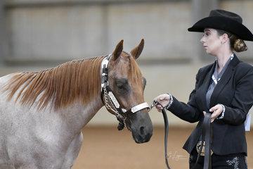 Mikayla Gaunt showing Tuffenufftowinin the  AQHA gelding  1 year and under halter class.