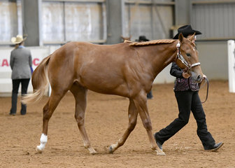 Triandibo Flamindelux owned by Fran Christian, shown by Trish Wettenhall in the gelding 1 year and under Halter class