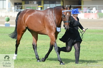 Sarah Steele's, 'Royal Remington' took fifth place in the class for Led Standardbred Gelding.