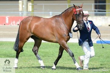 Matthew Bullock led the 1824 Equine nomination, 'Sanvik Star NZ' to win the class for Led Standardbred Gelding and go on to be declared Champion Led Standardbred.