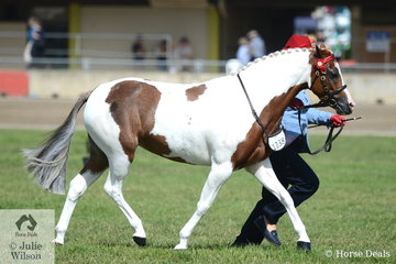 Jessica Tandy took second place in the class for Pinto Mare 10.2-14hh on the final day of the 2020 ActewAGL Royal Canberra Show.
