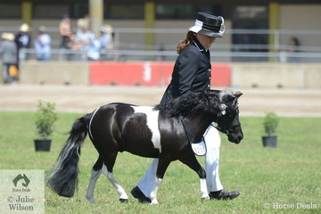 Well known and successful exhibitor, Jackie Long is scaling down her horse operations, quite literally. Jacky is pictured with 'Ivery Park Oreo' that won the class for Pinto Gelding N/E 10.2hh and went on to be declared Reserve Champion Led Pinto Gelding.