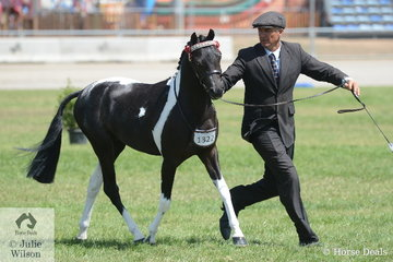 Gary Richardson is pictured on the run with the Vancouver Park Stud's Champion Pinto Stallion/Colt, 'Earlsley Park York'