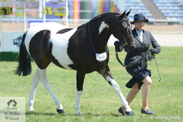 Monica Croston's, 'Woodchase Charlie Brown' shown by Sabrina Gilmour was declared Champion Pinto Gelding and later in the day, Champion Ridden Pinto.