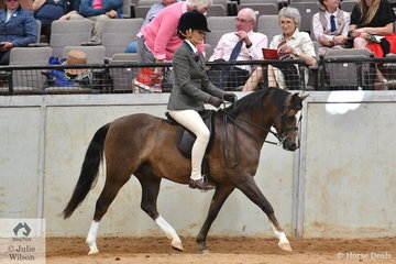The Bamborough Stud's, 'Bamborough Janpete' (Thistledown Wicked imp UK/B. Lady Jocelyn) is pictured during the Penryhs and Penley Stud's class for Ridden Mare/Gelding/Stallion of Section B Breeding.