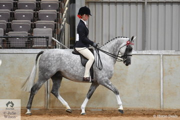 The Belaradah Pony Stud's, 'Avlon Majestic' (Amaranda Admiral/Avlon Kogan) took fifth place in the Whitemere Stud class for Ridden Part Welsh Mare/Gelding/Stallion 13.2-14.2hh.