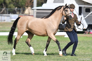 Sarah Catanach is pictured with Wendy Trimble's, 'Tooravale My Philadelphia' (Tooravale Phantom/Weston Park Magnolia) that took second place in the class for Welsh Pony Broodmare With Foal.
