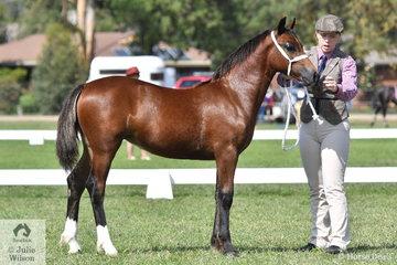 Hannah-Rose Shilcock's splendid, 'Haluma Park Rhiannon' out of the Champion D Female, 'Nawarrah Park Duchess' won the class for Welsh Cob Foal.