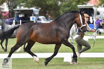 Megan Howe is pictured seriously on the move with the Howe Family Equine's winning Welsh Cob Dry Mare, 'Nawarrah Park Phoebe' (Llanarth Gold Cup imp UK/N.P Priscilla).