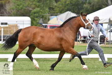 No one is better at showing of the Welsh Cob movement than  Mark Brown. He is pictured with his own and Denise Brown, 'Indi Marie Louise' (Indi Llewellyn/Durant Melba) that took second place in the class for Welsh D Broodmare.