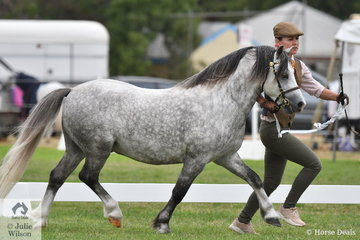 The Howe Family Equine's nomination, 'Nawarrah Park Chip' (Weston Park Talybont/N.P Cerys) took second place in the class for WMP Stallion Four Years and Over.