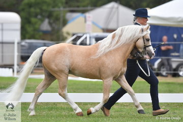 Annemarie Moncur's, 'Blue Wattle Williga' (Imperial Chas/Burkesburra Pocohontis) won the class for WMP Stallion Four Years and Over.