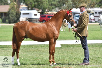 Darren Telford is pictured with the Whitmere Stud nomination, 'Whitmere Cosmopoiitan' (Beckworth Riding Command/Whitmere Top Model' that was declared Champion Part Bred Youngstock and Runner Up Champion Part Bred Welsh Exhibit.