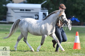 Salima Keswani's, 'Amilas Pendragon' (Sunwllow Jubilee/Madison Park Patience) shown by Taylah Lee won the class for WMP Yearling Colt and was declared Runner Up Best Youngstock Exhibit.