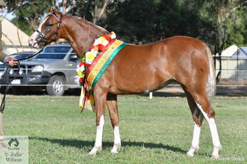 Luke Dawes led Wendy Trimble's, Tooravale Caterina' (Waxwing Peru imp UK/Tooravale Cameo' to win the Yearling Filly class, claim Best Welsh Youngstock Exhibit, Champion Welsh Female and Supreme Led Welsh Pony Exhibit and finally IRT Runner Up National Best Welsh In Hand.