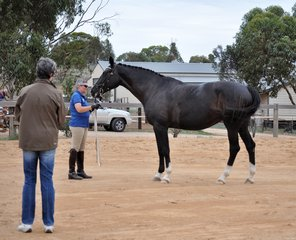 RM Zebedee by Capone (Imp/Dec) from PS Lonavale (Lontano Dec) owned by Rebecca Moore Studbook Led Mare Scored 70%