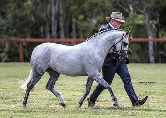 The Gilbunna Stud Supreme Champion Led Arabian Pony Koora-Lyn Enchanting exhibited by M Whyte & Suburban Lodge.