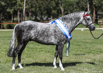Best Part Welsh Led Gelding Valleyside Sugar Daddy owned by Kate Shaw.