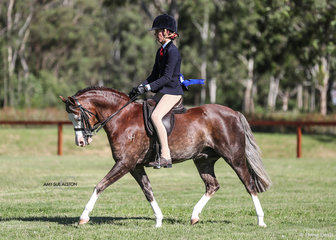 Karen Thomsen's Bamborough Bright Lights had a great show today also taking out the Champion ridden Welsh Pony of the Year.